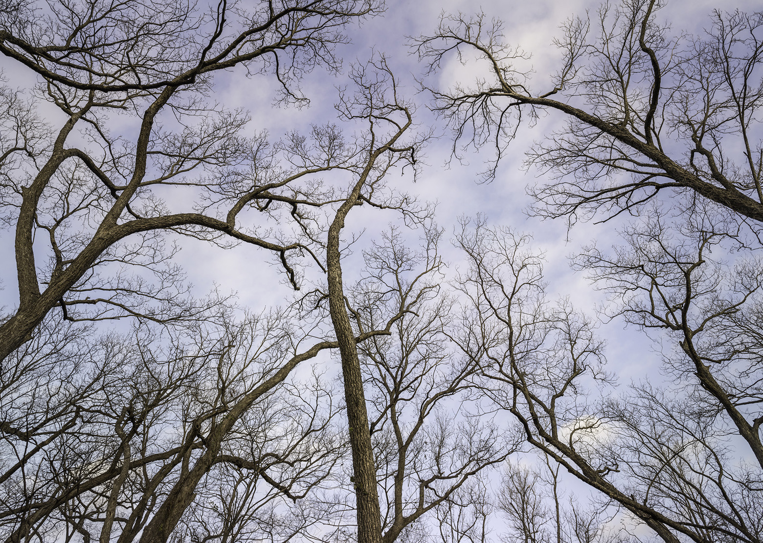 """Winter trees, Great Trinity Forest""  Archival Pigment Print	 ©Charles Cramer"