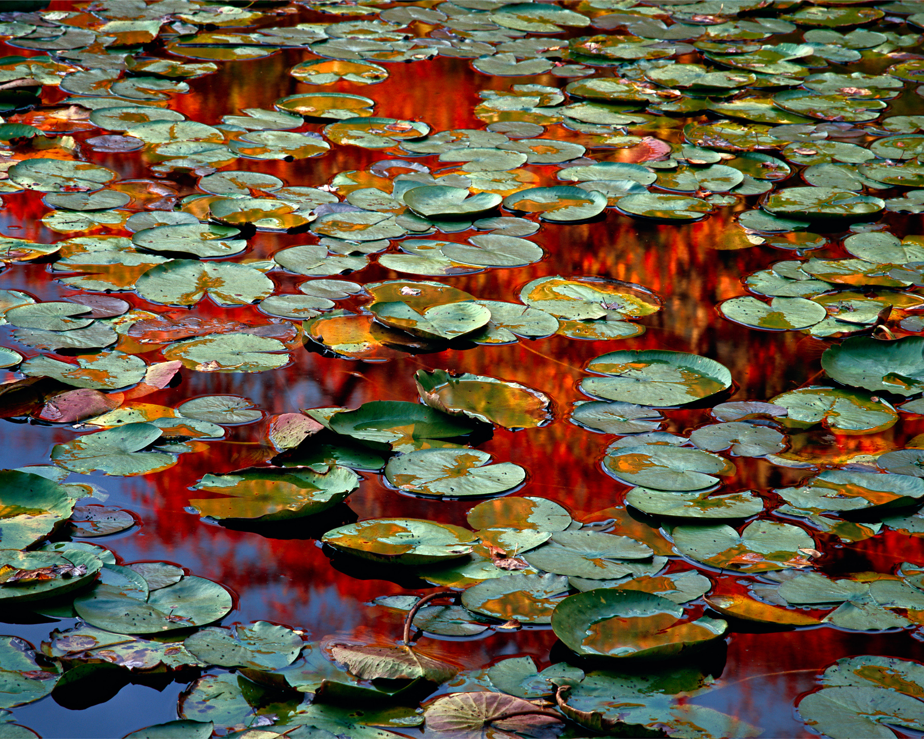 """Autumn lily pads, Beech Forest, Cape Cod"" by Scot Miller,  Archival Pigment Print"