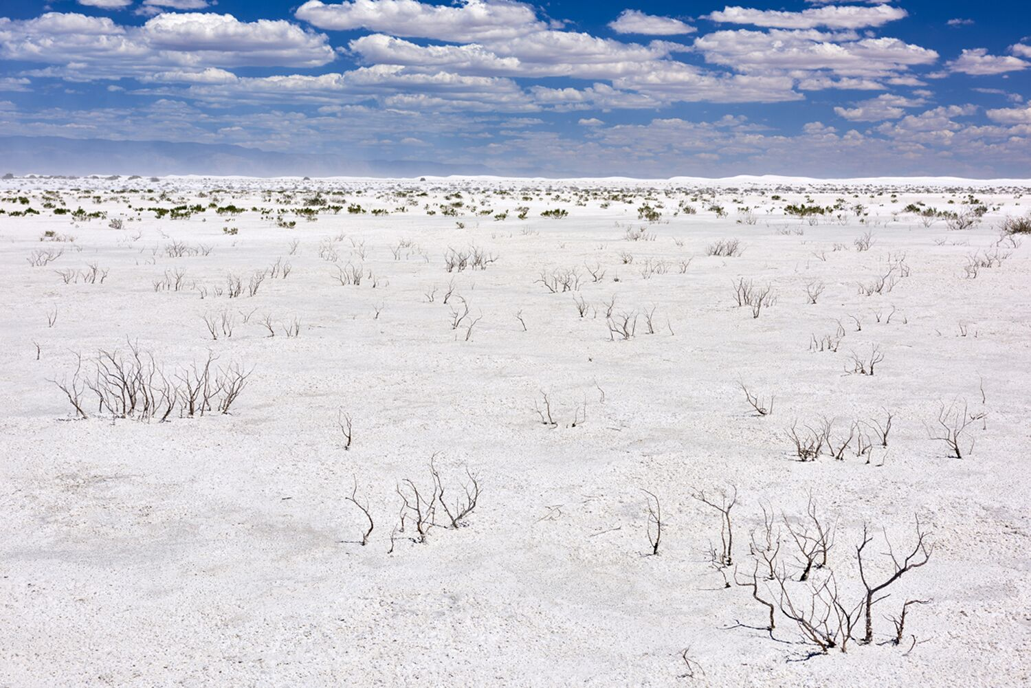 Iodine Bush on Alkali Flats facing Dune Field, Summer, White Sands National Monument, New Mexico
